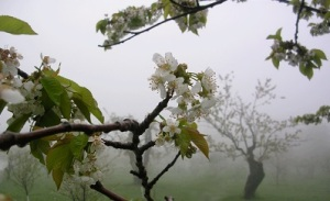 apple_orchard_in_mist_digginginthedriftless-cropped.jpg