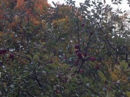 Apple tree in Autumn