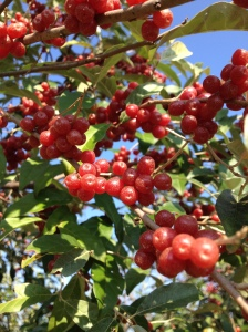 Autumn Olive