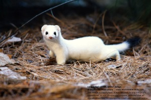 Longtailed Weasel