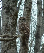 VD Barred Owl