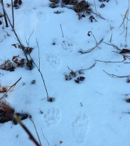 VD Raccoon Tracks
