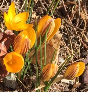 Crocuses in March. Arianna took this picture in Ashfield, at a neighbor's home.