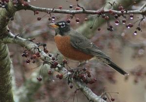 American Robin on Wikipedia