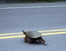 Snapping Turtle crosses road