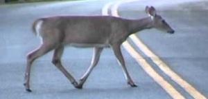 Whitetail Deer crossing road