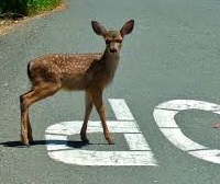 Whitetail Deer fawn crossing road