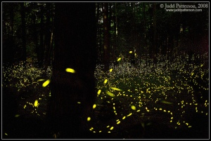 elkmont-synchronous-fireflies by Judd Patterson
