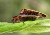 fireflies mating