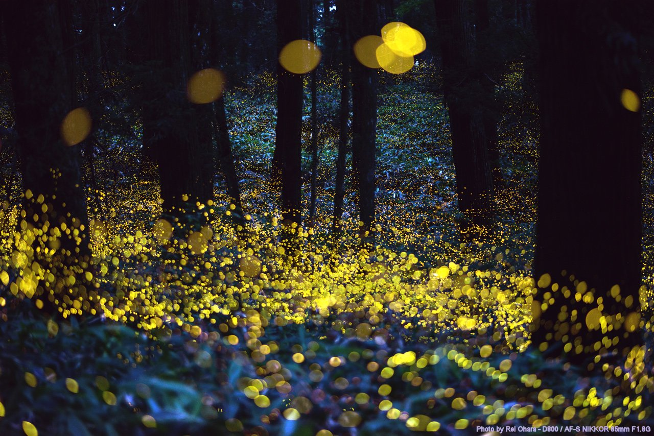 Fireflies Of Avalon And New England