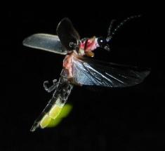 Firefly beetle glowing