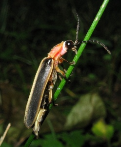 Firefly beetle