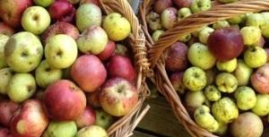 apple-pressing-1a