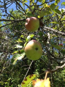apple-tree-1