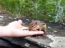 Chippy eating from Arianna's hand. Image by John P. Buryiak