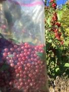 Arianna gathering Autumn Olive