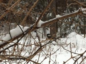One of Arianna's chickadee neighbors