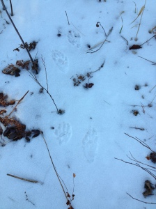 Raccoon tracks in winter