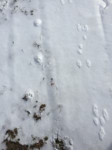 Bobcat & Rabbit tracks side by side