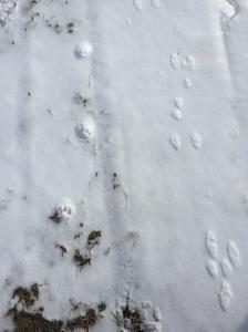 Bobcat & Rabbit tracks side by side