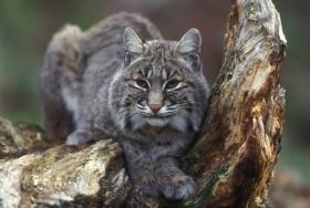 Bobcat - Lynx rufus, Photo by Gary Kramer, courtesy of USFWS