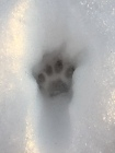 Bobcat track in snow