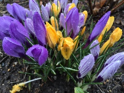 Crocuses in early spring