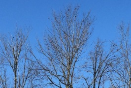 Male Red-winged Blackbirds in early spring