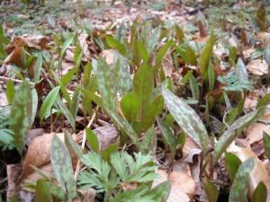 Trout lilys