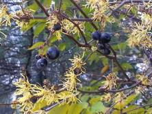 Witch-hazel blooming with wild grapes by John P. Buryiak