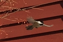 Black-capped Chickadee flying in