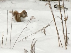 Red Squirrel and Chickadee