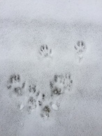 Red Squirrel tracks