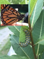 Monarch caterpillar & butterfly