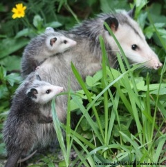 Opossum mama with joeys