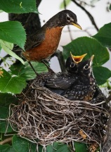 America Robin feeding chicks