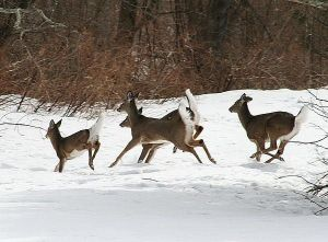 Whitetailed deer running through the snow