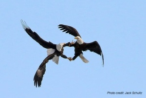 Bald Eagles Courtship