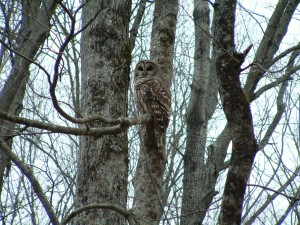 Barred Owl by Arianna