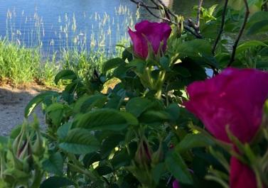 Rosa Rugosa at Ashfield Lake