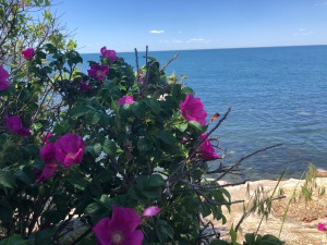 Rugosa Rose on the Cape